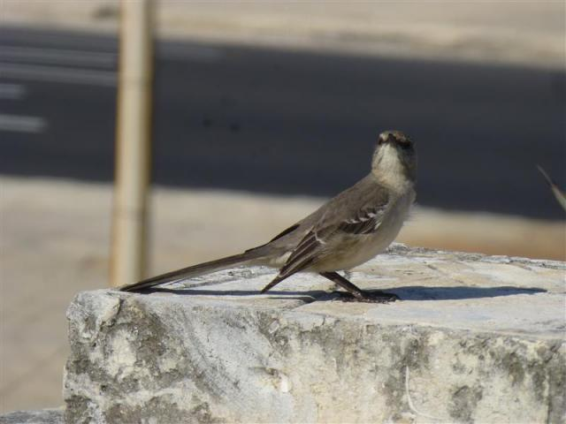 http://gandjlawrence.co.uk/photos/cuba/Bill/bird_longtailed.jpg